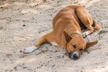 Sleeping brown Thai dog on sand