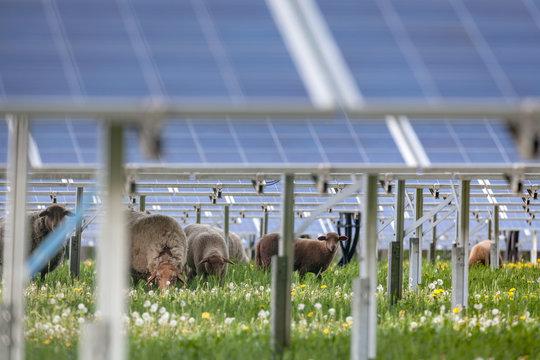 Schafe und Solarpanels