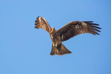 Black Kite flying in blue sky