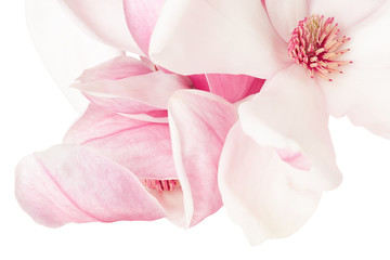 Magnolia, pink spring flower macro on white, clipping path