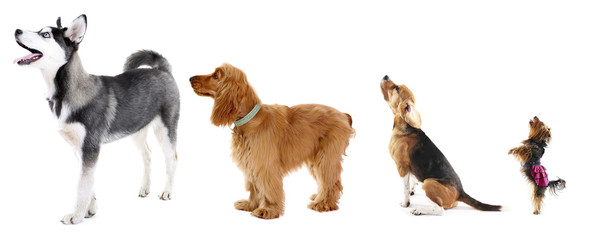 Group of dogs different sizes in row, isolated on white Wall mural