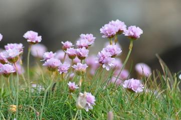 fleur de ile de groix