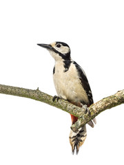 Perched great spotted woodpecker on a horizontal branch