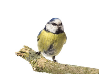 Front view of perched blue tit on a branch with white background