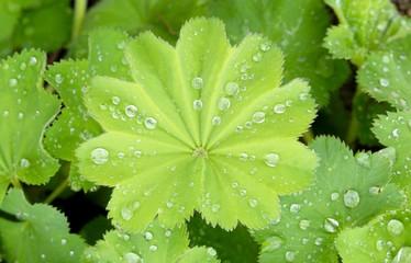 frauenmantel mit Regentropfen