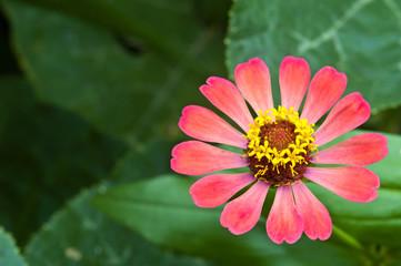 Zinnia flower