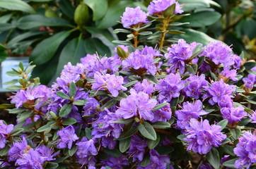Lila Zwergrhododendronblüten - Rhododendron impeditum