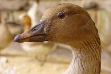 bean goose portrait taxidermy