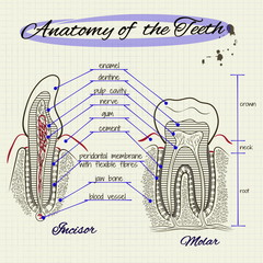the structure of human tooth