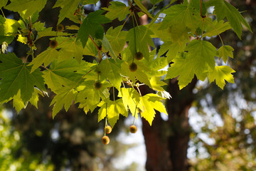 Leaves of plane trees in the sunlight.