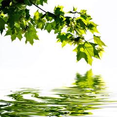 Feuilles de platane sur l'eau