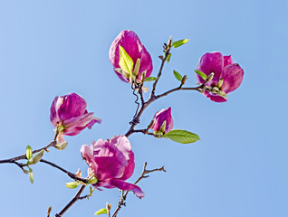 Purple Magnolia branch flowers, blue sky background.