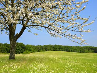 Flowering tree on meadow. Spring season.