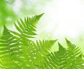 Fern leaf on green natural background