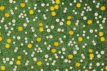 white daisies and yellow dandelions