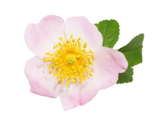 flower wild rose isolated white background