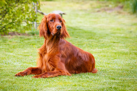 Obedient nice irish setter laying and waiting