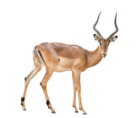 Papiers peints Antilope male impala isolated