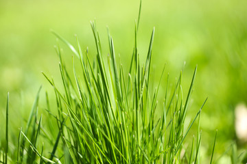 Green grass on nature background, close up