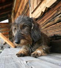 Cane bassotto tedesco a pelo ruvido