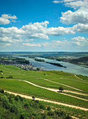 Weinreben im Rheingau am Rhein