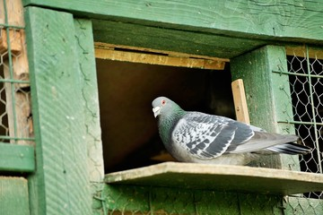 A carrier pigeon or messenger pigeon was used to carry messages.