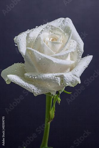 Rosa Bianca Con Goccioline Di Rugiada Stock Photo And Royalty Free