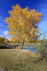 Autumn landscape - gold birch near pond