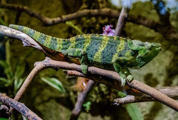 Fotobehang Kameleon Meller's chameleon on a branch
