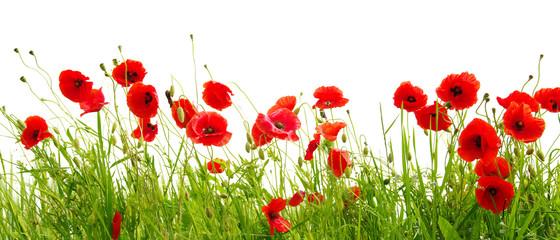 Obraz red poppy - fototapety do salonu