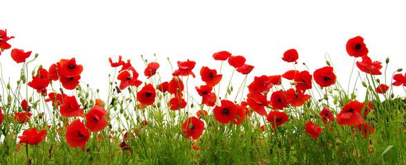 Fotobehang Poppy red poppy
