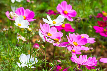 Pink kosmeya on the background of the solar colorful summer