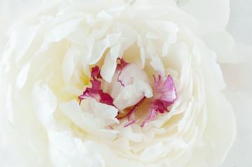 Peony flower macro