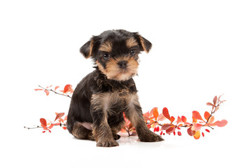 Dog. Puppy of the Yorkshire Terrier on white background