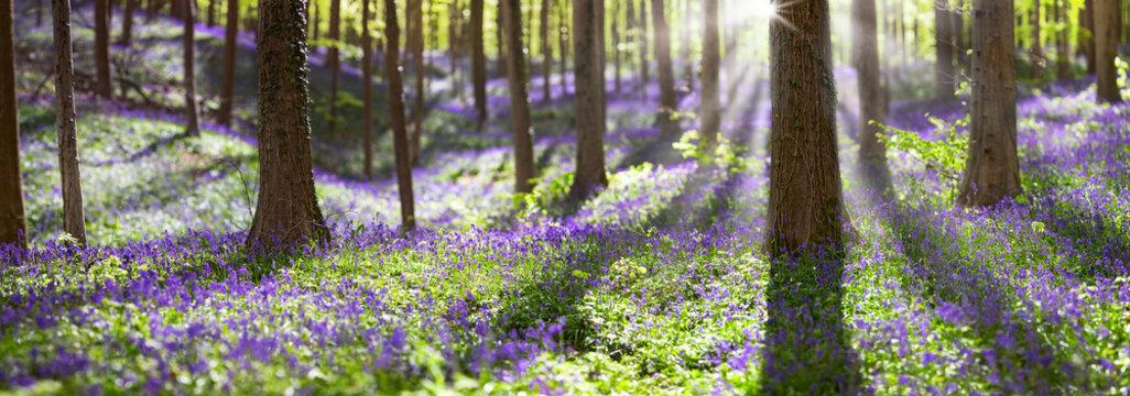 bluebell spring wildflowers
