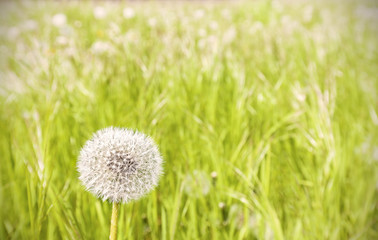 Dandelion on a meadow.