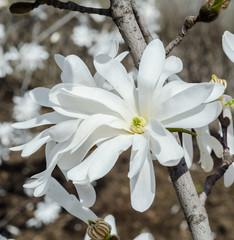 White Magnolia branch flowers, tree flowers, bokeh background.