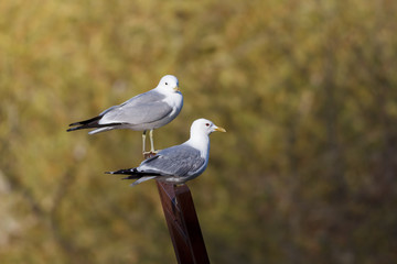 Two common gulls sitting on a a sculpture