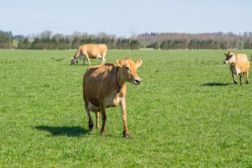 Jersey cows running on grass
