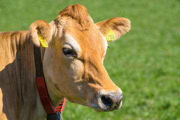 Close-up of a Jersey cow