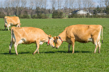 Jersey cows head to head
