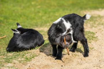 Goat kids on a field