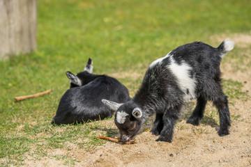 Goat kids on a meadow