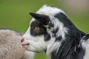 Goat kid head close-up