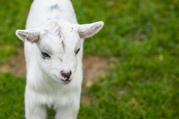 Goat kid on green grass