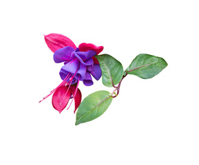 Pink and purple fuchsia closeup isolated on white.