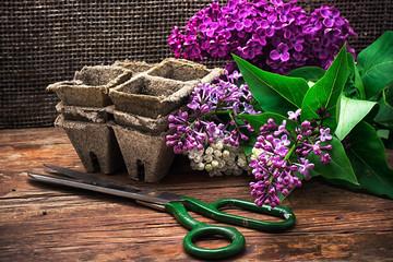Bush may lilac