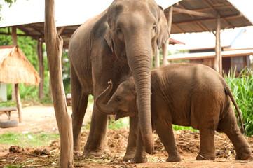 Relationship Thai Elephant calf and mom.