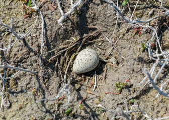 Little ringed plover nest with a single egg