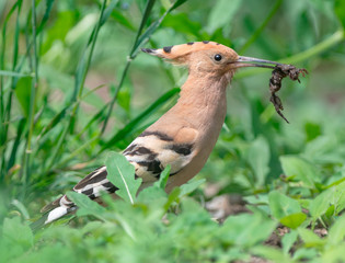 Eurasian Hoopoe with prey